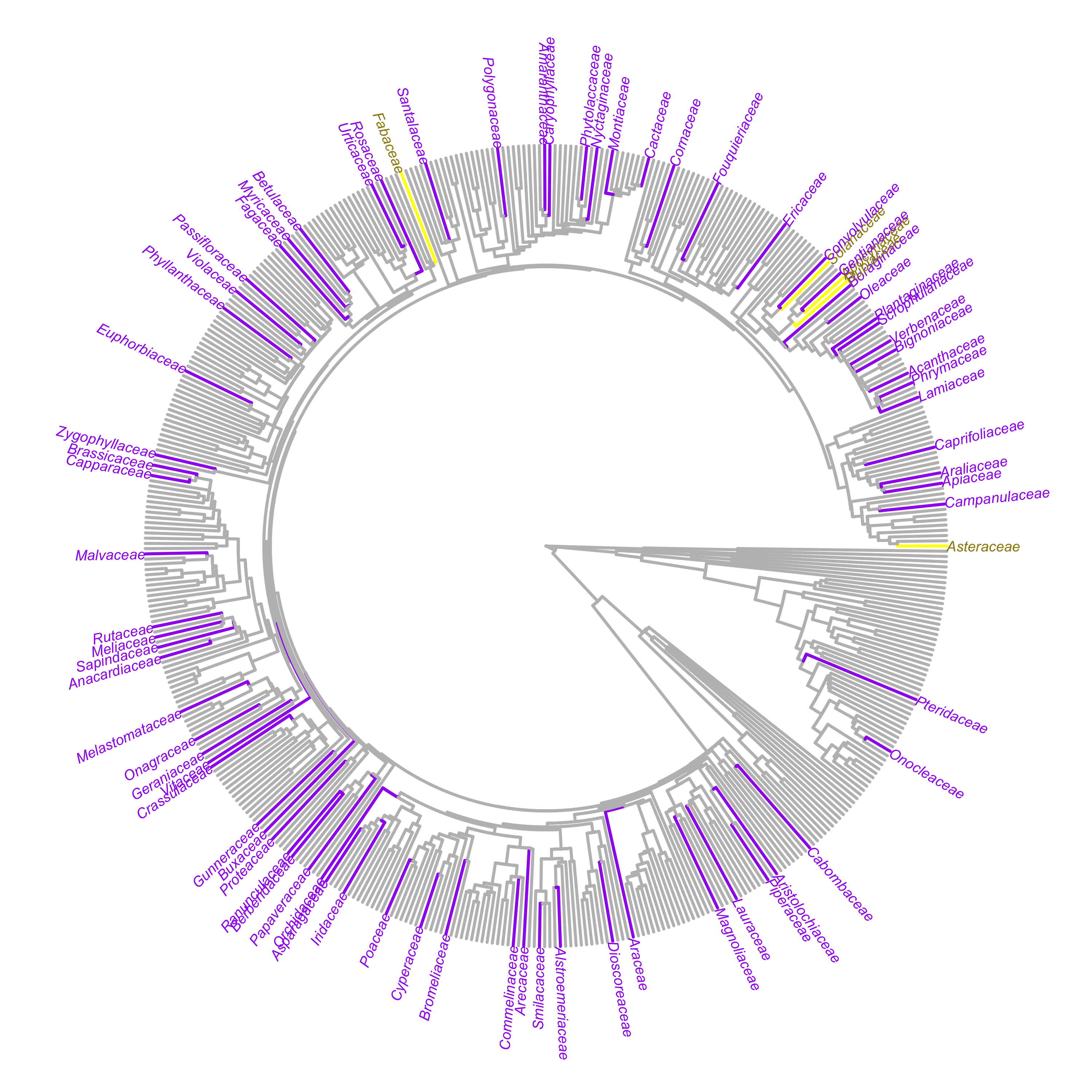 The distribution of currently sampled plant families across the phylogeny of all extant vascular plant families. Our five focal families are in yellow (Apocynaceae, Asteraceae, Fabaceae, Rubiaceae, and Solanaceae), and other sampled families are in purple. Figure made by HerbVar collaborator [Marjorie Weber](http://www.theweberlab.com) with mega-tree from Jin et al. 2019.